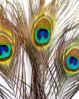 Peacock Range